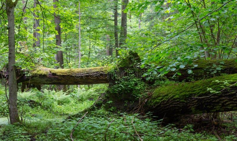 Altes gebrochenes im Frühjahr liegen des Eichenbaums Wald lizenzfreie stockfotografie