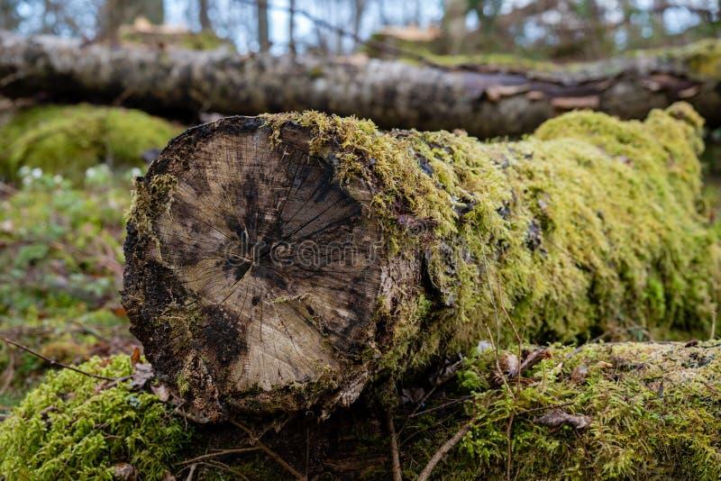 Altes Moos bedeckter Baumstamm, der aus den Grund zerlegt stockfoto