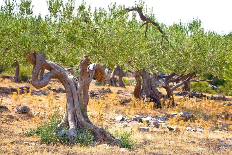 Altes Olivenbäume plantage in Dalmatien lizenzfreie stockfotografie