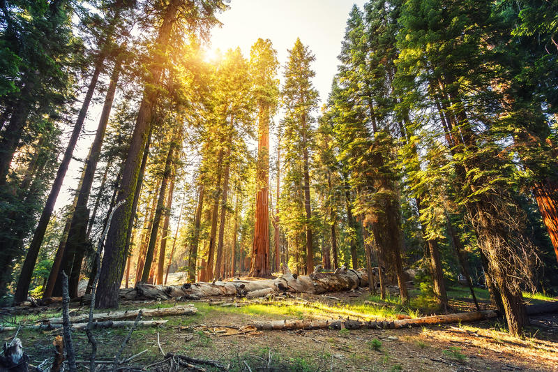 Altes Rotholz im Mammutbaum-Nationalpark lizenzfreie stockfotos