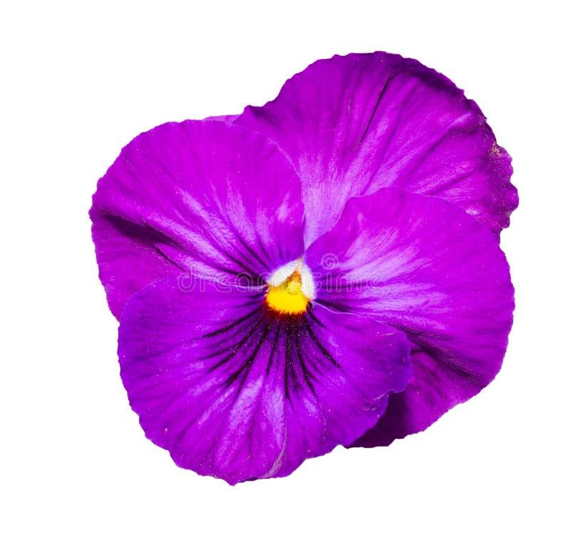 Altfiol purpurfärgade Pansy Flower Isolated på vit arkivbilder