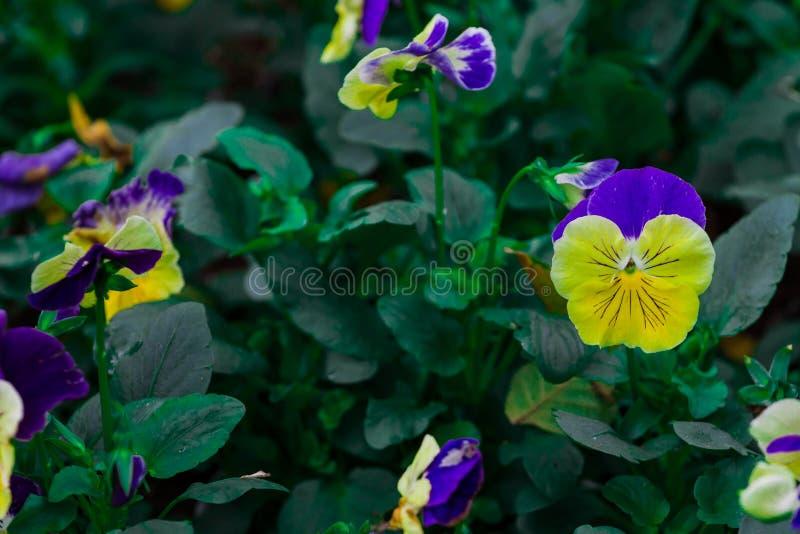 Altfiol tricolor var Hortensis i vinter, då du ser blommablompenséen som våren har ankommit Visa att penséen önskade mycket kallt royaltyfri fotografi