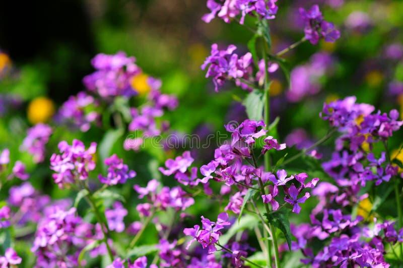 Altfiolreichenbachiana, den tidiga hund-violetta eller bleka wood violeten fotografering för bildbyråer