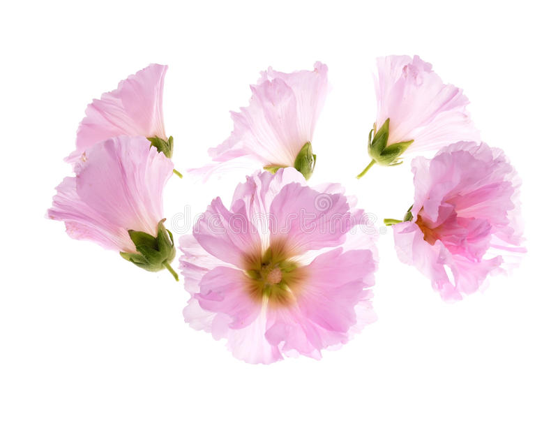 Althaea officinalis obrazy royalty free