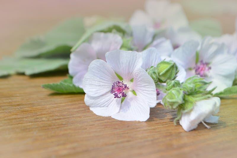 Althaeaofficinalis stock afbeeldingen