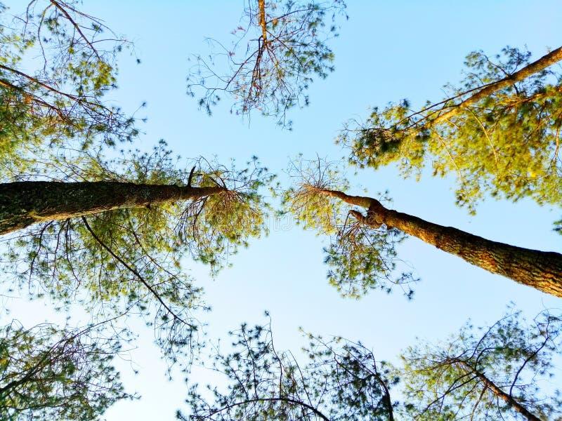 Alti alberi immagini stock
