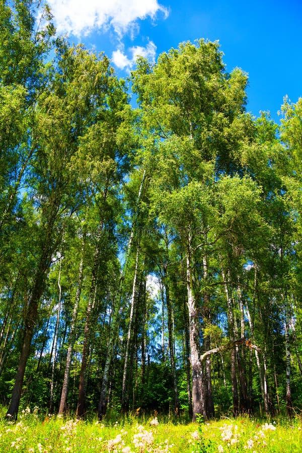 Alti alberi di betulla con fogliame verde fotografie stock libere da diritti