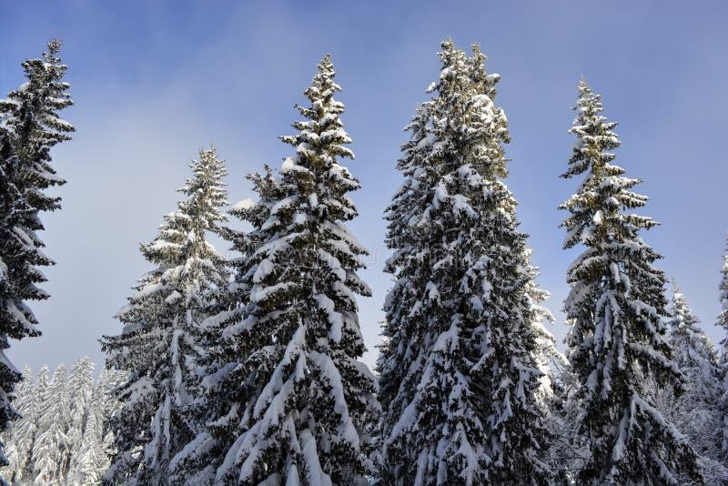 Alti alberi di pini verdi coperti di neve nell'orario invernale della montagna Bello cielo blu come fondo fotografia stock