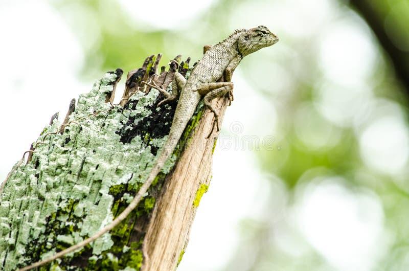 Alticristatus van Calotesemma is spciesnaam van reptiel stock afbeeldingen