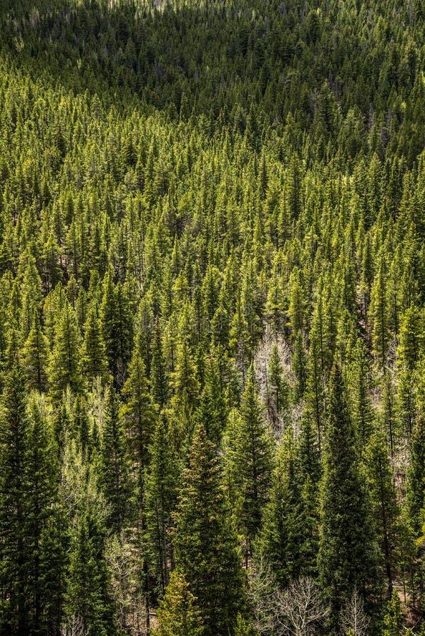 Altijdgroen Pijnboom & Aspen Trees - Bergbos stock foto