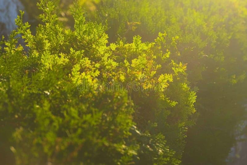 Altijdgroene die arborvitae, door de heldere zon wordt verlicht royalty-vrije stock afbeelding