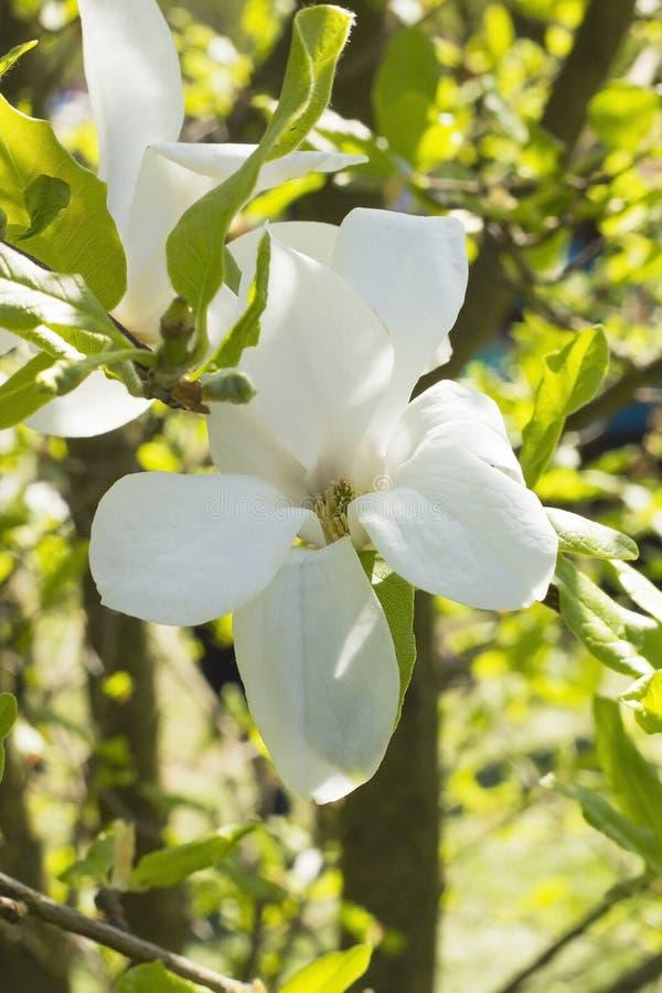 Altijdgroene Magnolia grandiflora, zuidelijke magnolia, Stierenbaai royalty-vrije stock foto