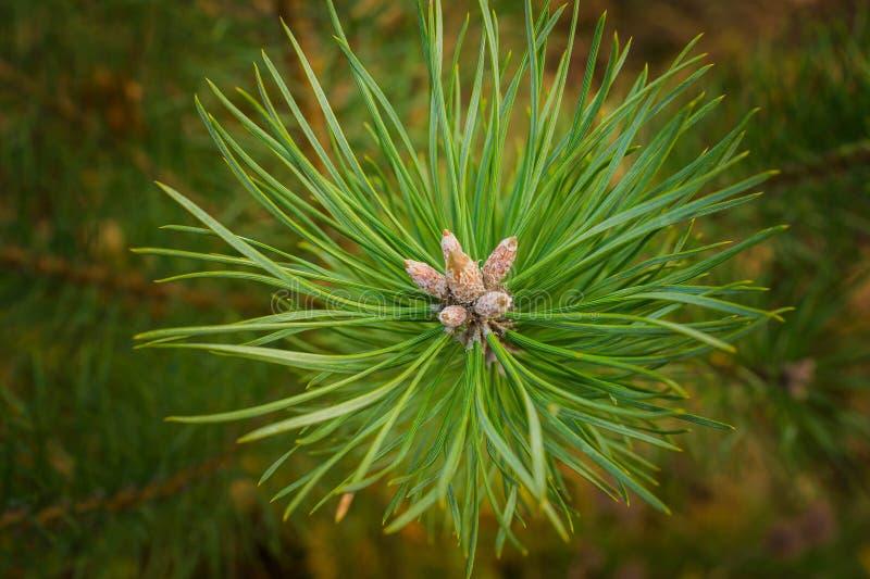Altijdgroene pijnboomtak, decoratief seizoen, naald, de winter, sparren, stock afbeelding