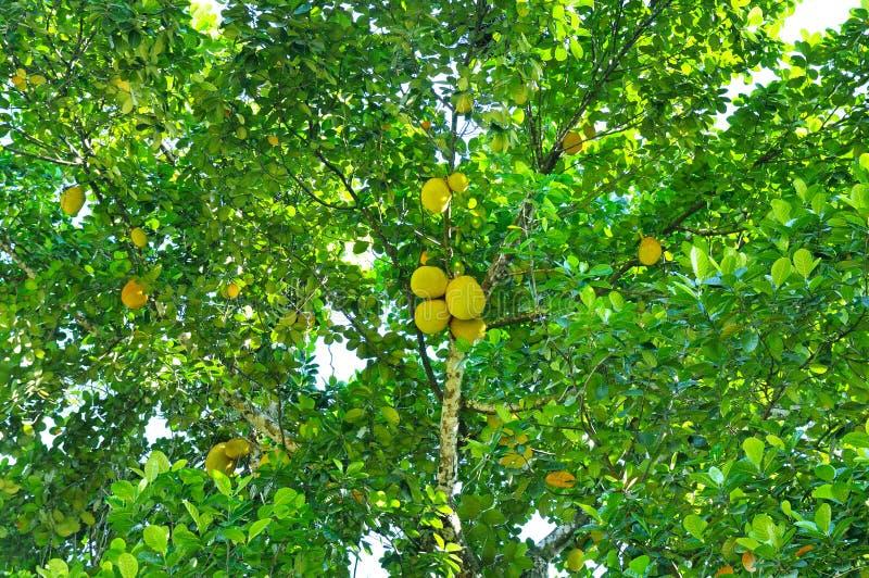 Altilis mûrs d'Artocarpus de fruits à pain sur un arbre photographie stock
