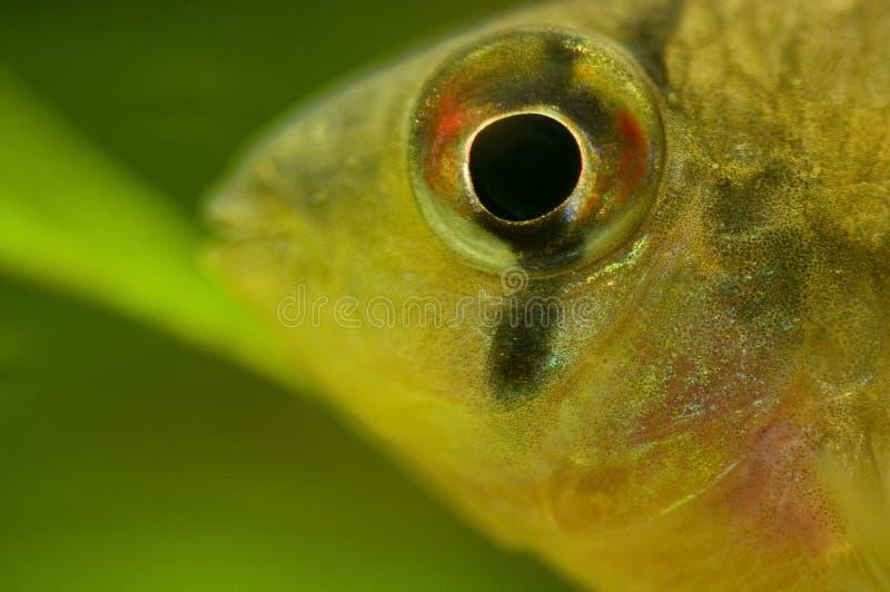 altispinosus microgeophagus fotografia stock