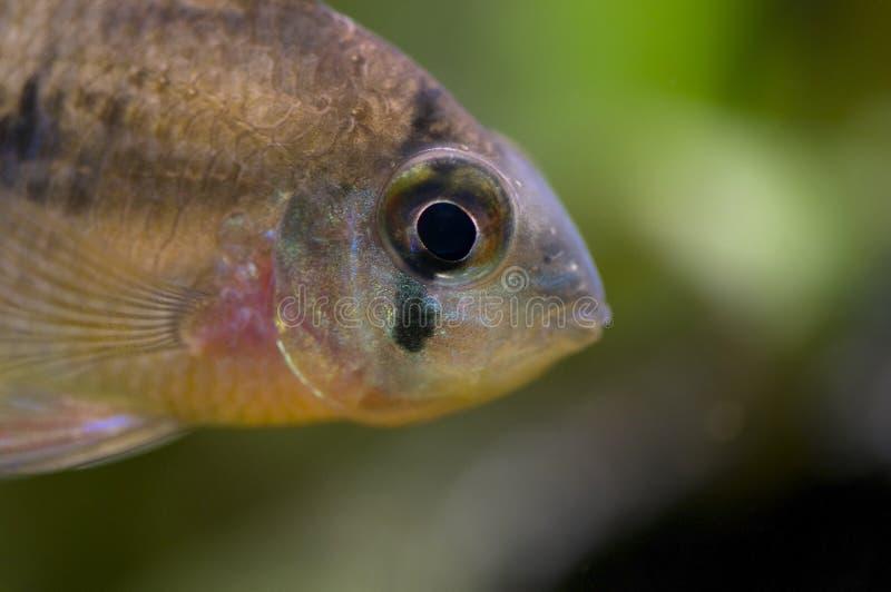 altispinosus microgeophagus zdjęcia stock