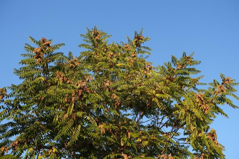 Altissima d'Ailanthus avec des fruits contre le ciel en octobre images libres de droits