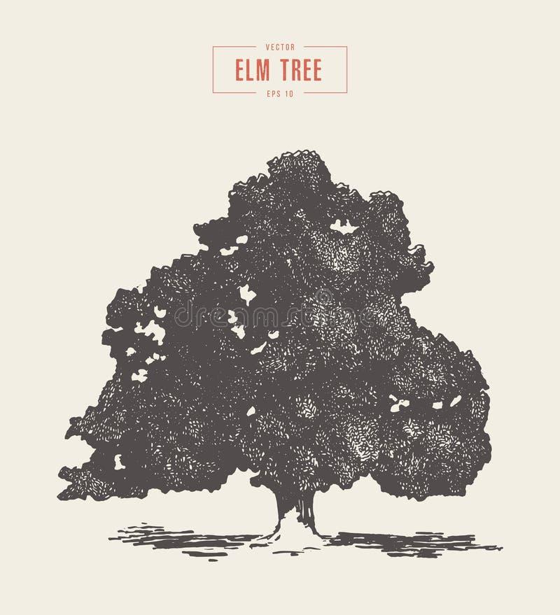 Alto árbol de olmo del vintage del detalle dibujado, vector stock de ilustración