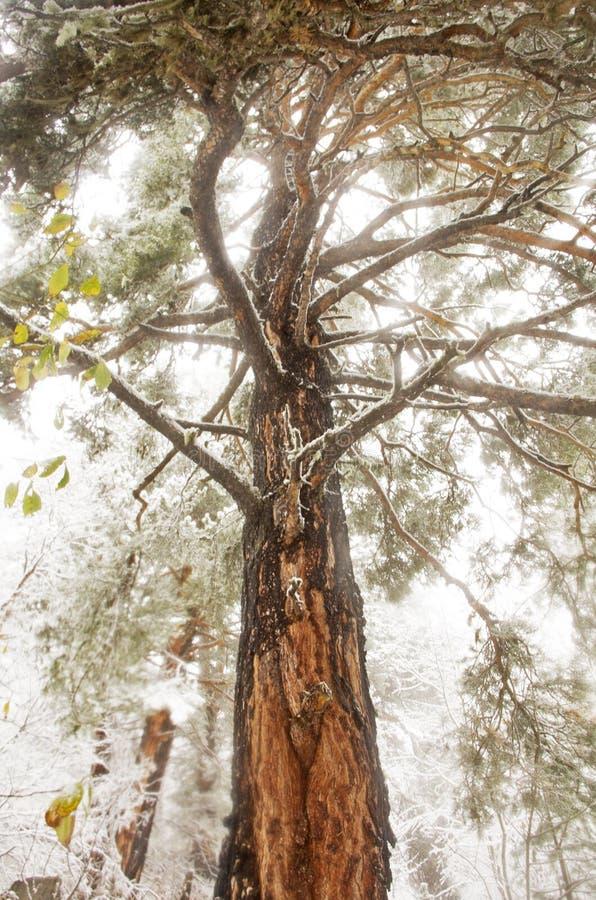 Alto árbol de pino fotos de archivo libres de regalías