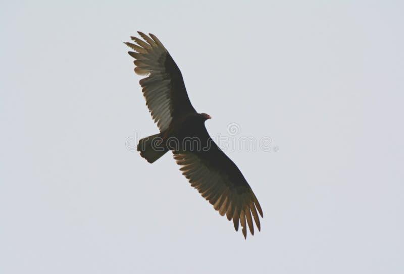 Alto avvoltoio di Turchia in ascesa fotografia stock libera da diritti