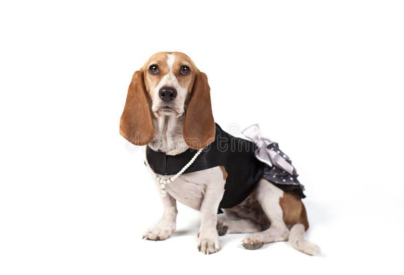 Alto-chave acima vestida do cão do Basset imagem de stock royalty free