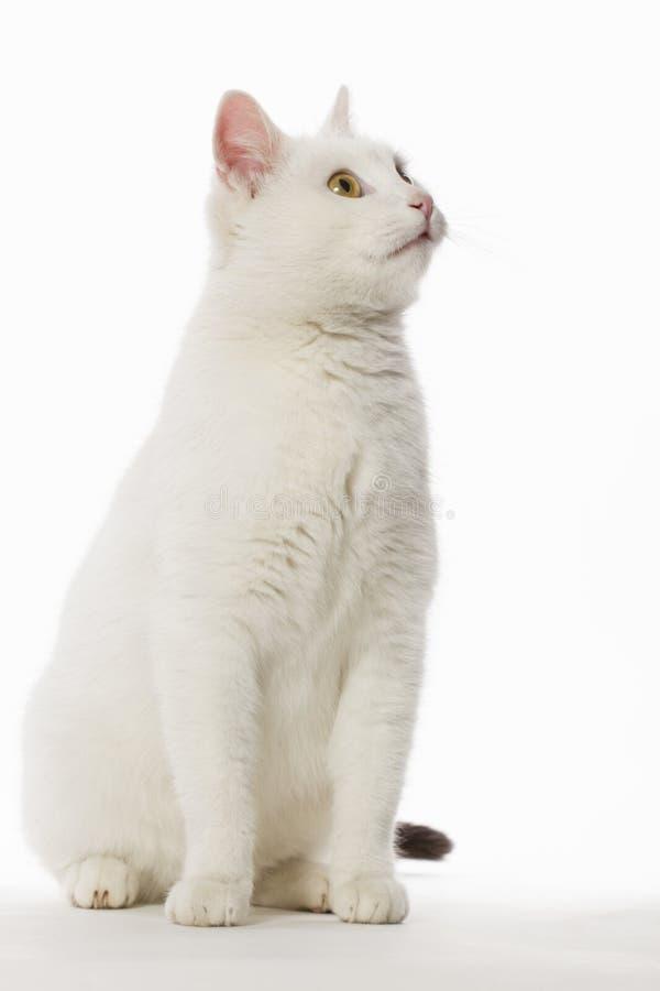 Alto clave del gato blanco fotos de archivo