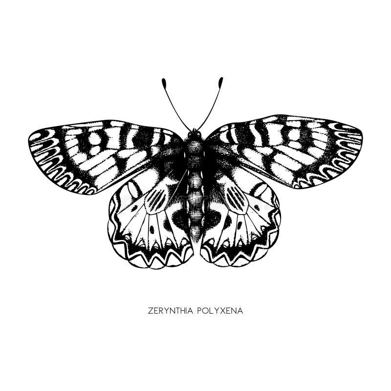 Alto ejemplo detallado del polyxena de Zerynthia Bosquejo exhausto de la mariposa de la mano Dibujo del insecto del vintage en el libre illustration