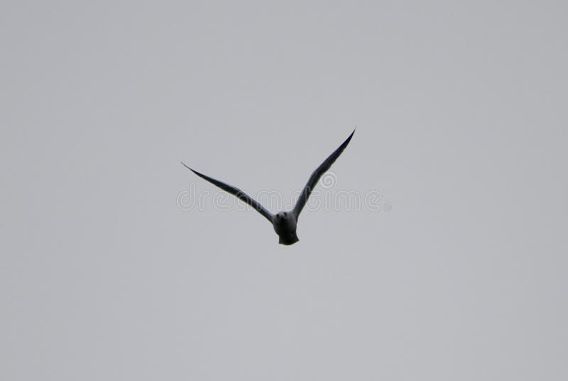 Alto gabbiano volante 2 fotografia stock libera da diritti
