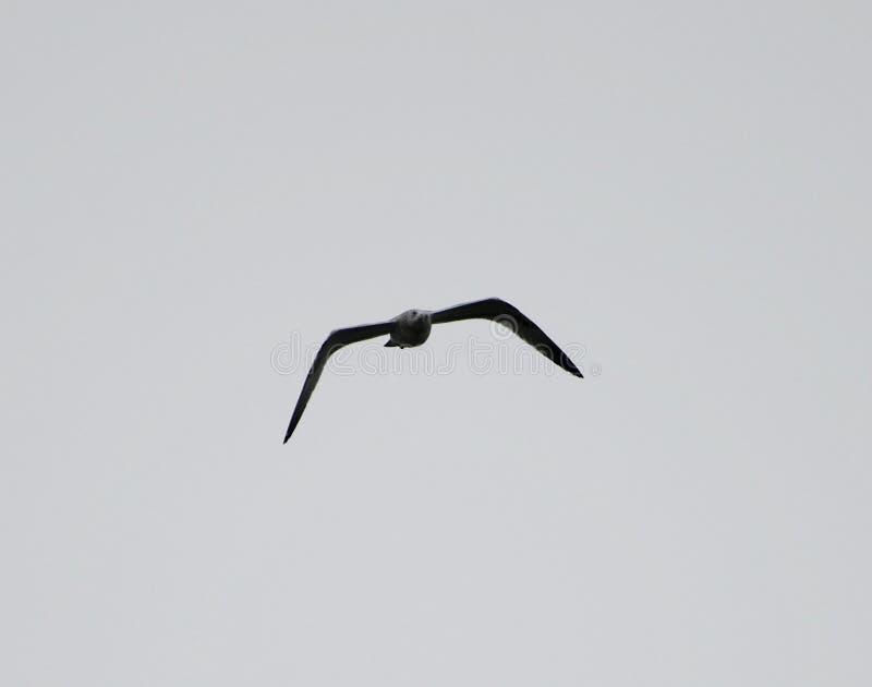 Alto gabbiano volante 3 fotografia stock