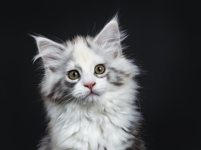 Alto gattino bianco della ragazza di Maine Coon del tortie fotografia stock libera da diritti