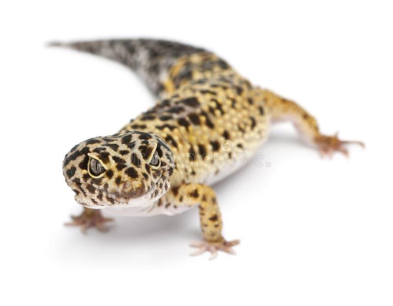 Alto gecko amarillo del leopardo, Eublepharis fotografía de archivo libre de regalías
