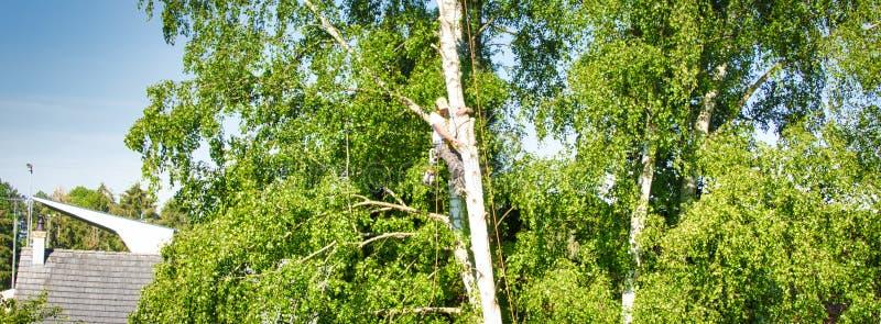 Alto masculino maduro del condensador de ajuste del árbol en el árbol de abedul, 30 metros de la tierra, cortando las ramas con l fotos de archivo libres de regalías