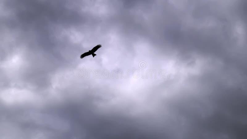 Alto nel cielo nelle nuvole che pilotano il grande aquilone nero dell'uccello fotografie stock