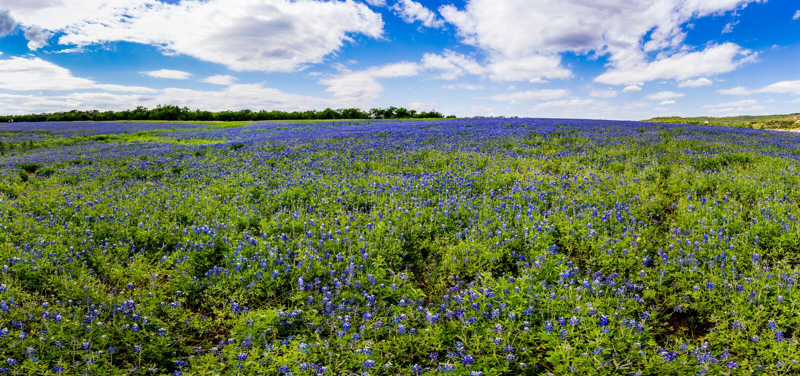 Alto panorama del Res de campos de Bluebonnets en la curva del zapato de la mula, Te foto de archivo libre de regalías