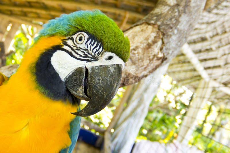 Alto particolare del macaw blu e giallo immagini stock