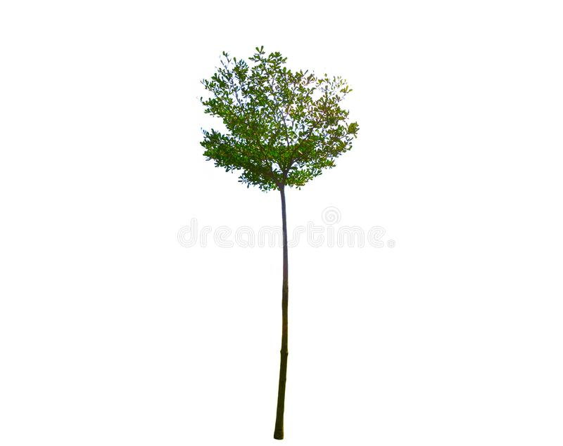 Alto pequeno da árvore verde aparada isolada no fundo branco fotos de stock royalty free