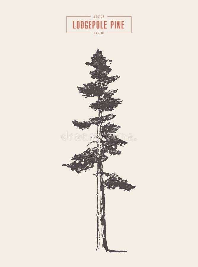 Alto pino de lodgepole del vintage del detalle, dibujado, vector libre illustration