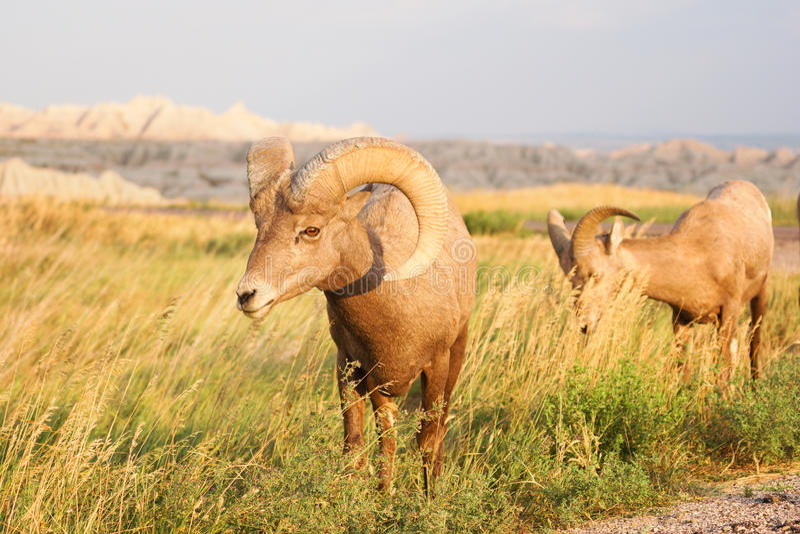 Alto Ram del maschio delle pecore Bighorn del deserto dell'animale selvatico fotografie stock libere da diritti