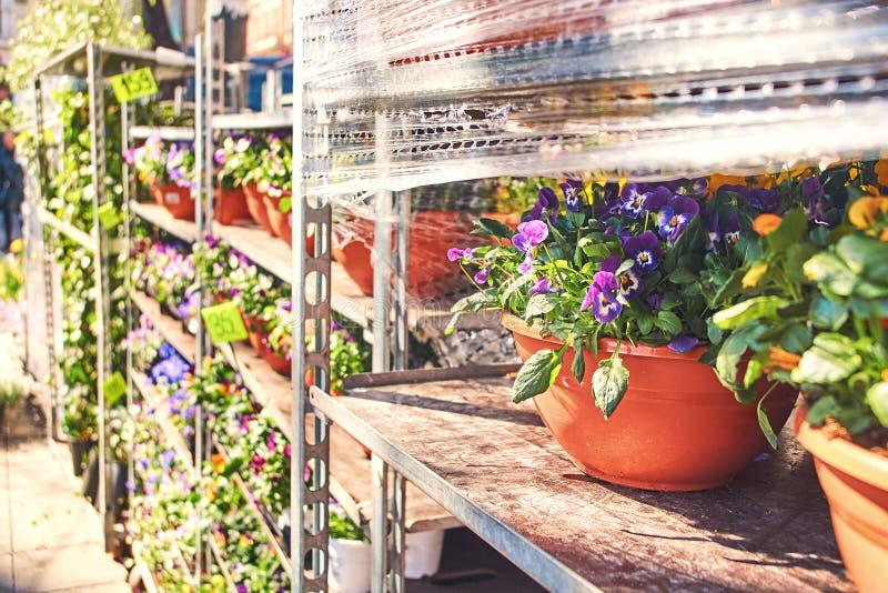 Alto tricolore dans un pot en céramique avec d'autres fleurs étant vendues dans une boutique extérieure images stock
