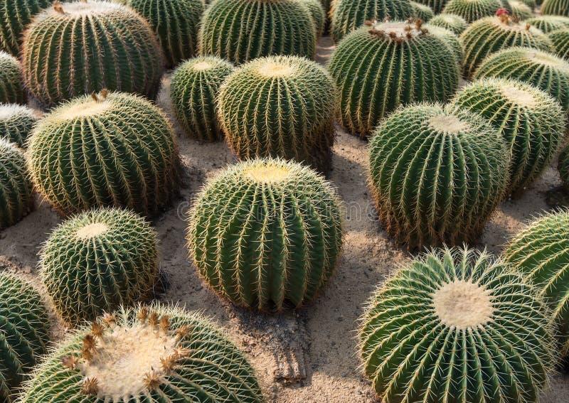 Alto vicino del cactus fotografia stock