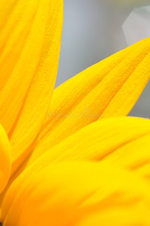 Alto vicino del girasole Colpo a macroistruzione estremo Fondo astratto con i petali del girasole fotografia stock
