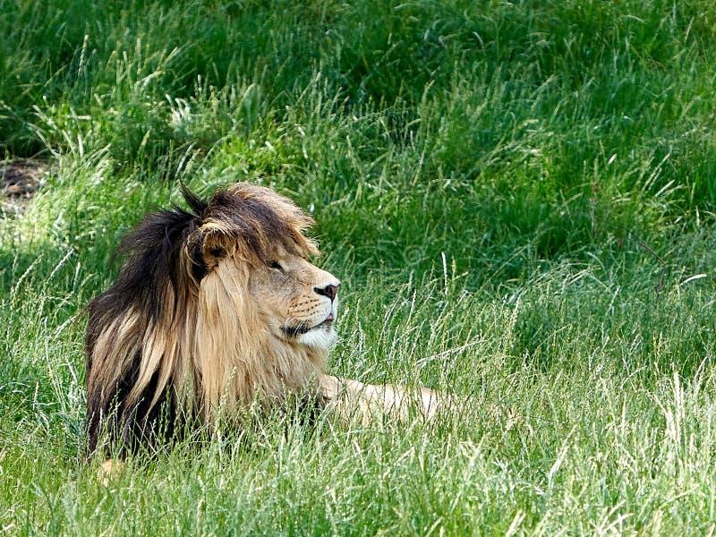 Alto vicino del leone fotografia stock libera da diritti