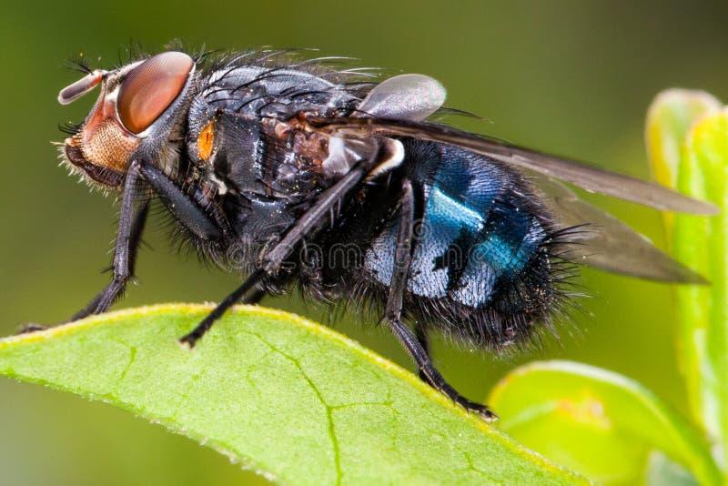 Alto vicino della mosca, macro dell'insetto bluebottle immagini stock libere da diritti