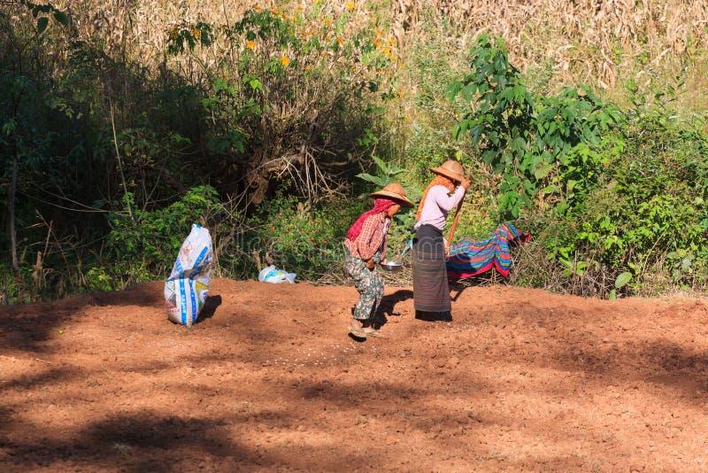 Altopiani di Kalaw, Myanmar - 18 novembre 2019: Agricoltori locali che lavorano negli altopiani intorno a Kalaw ed al lago Inle,  immagine stock libera da diritti