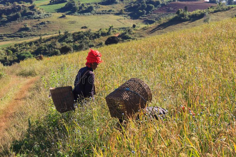Altopiani di Kalaw, Myanmar - 18 novembre 2019: Agricoltori locali che lavorano negli altopiani intorno a Kalaw ed al lago Inle,  fotografia stock libera da diritti