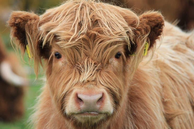 Altopiano della mucca immagini stock