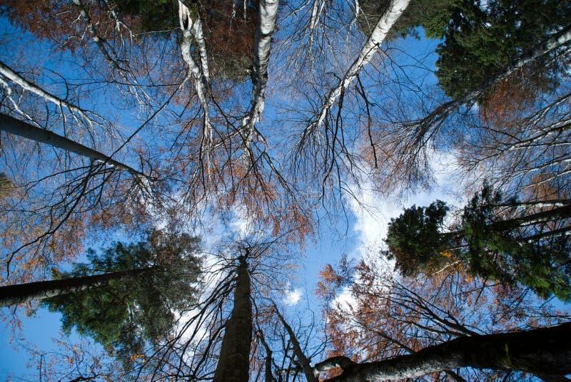 Altos árboles imagen de archivo