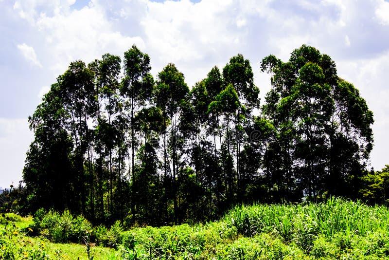 Altos árboles foto de archivo libre de regalías