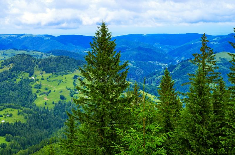 Altos árboles de pino en el fondo de la cuesta de montaña de los Cárpatos fotos de archivo libres de regalías
