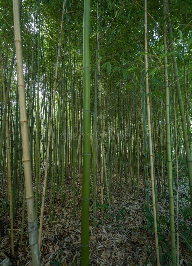 Altos matorrales del bambú en el bosque imagen de archivo libre de regalías